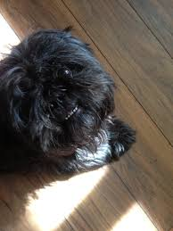 affenpinscher reviews reviews and testimonials