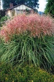 prairie switchgrass name panicum virgatum