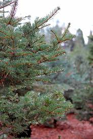 living christmas trees uc master gardeners diggin u0027 it in slo