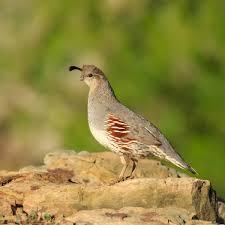 gambel u0027s quail callipepla gambelii about animals