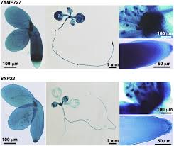 a snare complex unique to seed plants is required for protein