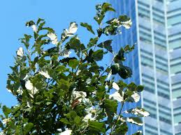 White Oak Tree Tree Of The Week Swamp White Oak Bygl