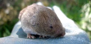 How To Get Rid Of Moles In The Backyard by How To Deal With Voles Field Mice In Your Yard Or Garden