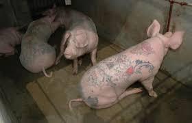 wim delvoye u0027s tattooed pigs complex