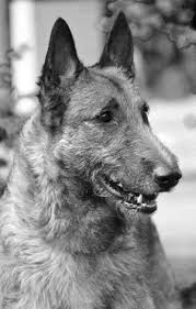 belgian sheepdog calendar belgian shepherd dog tervueren these animals have all the