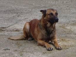belgian shepherd wanted belgian malinois german shepherds for sale