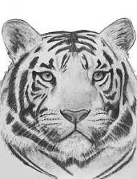 white siberian tiger drawings america