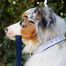australian shepherd off leash 1677 best awesome aussies images on pinterest animals