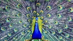 if a peacock loses his tail feathers do they grow back