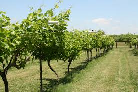 wine and spirits thanksgiving hours lavaca bluffs vineyard