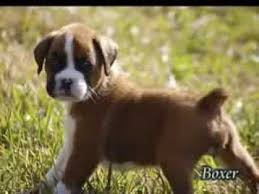 puppies for sale pa boxer puppies for sale in pa
