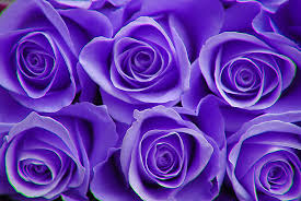 purple color meaning beauty flower purple rose color meanings