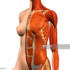 Female Muscles Anatomy Crosssection Anatomy Of Female Chest And Abdomen Muscles Stock