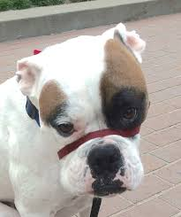 boxer dog mean dog of the day buster the beautiful boxerthe dogs of san francisco