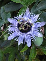 passion flower alien looking flower right here on earth