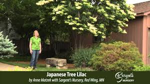 japanese tree lilac sargent s nursery inc