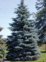 blue spruce blue colorado spruce plants encyclopedia