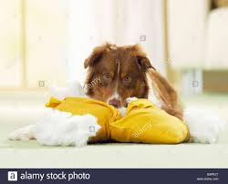 australian shepherd outline bad habit australian shepherd tearing up a pillow stock photo