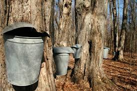 Backyard Maple Syrup by 5 Steps To Make Maple Syrup