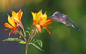 Hummingbird Plant Hummingbird Photography Hummingbird Photography Widescreen