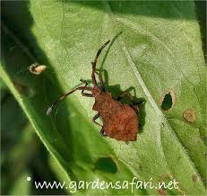 Bean Leaves Bed Bugs Gardensafari Shield Bugs With Lots Of Pictures