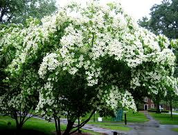 trees are also native plants flowering trees in virginia a guide for spring