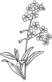 forget me not flowers sketch coloring page view larger image