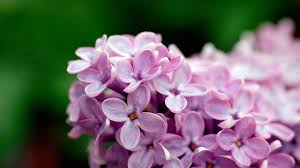 Names Of Purple by Names Of Flowers With Pictures