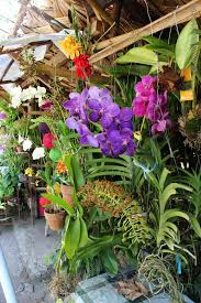 orchids for sale orchids for sale at the cagsawa ruins kagsawa or cagsaua