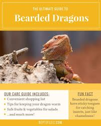bearded dragon lighting guide witching bearded dragon care bearded dragon lighting and