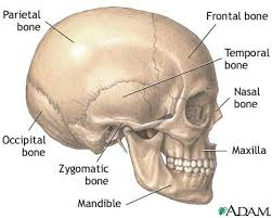 Human Anatomy Skull Bones 8 Best Human Skull Images On Pinterest Human Skull Bones And