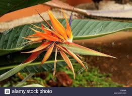 Flower San Jose - colorful bird of paradise flower in san jose costa rica stock