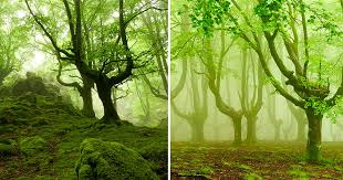 foggy forests of ancient trees pruned for charcoal in basque