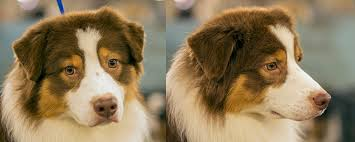 australian shepherd vs border collie image composition guide subject isolation articles and tips