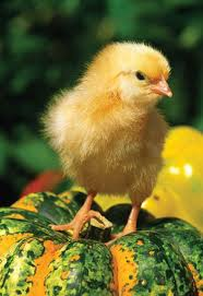 45 best chicken brooders images on pinterest chicken coops