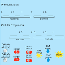 cellular respiration and photosynthesis ck 12 foundation