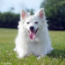 north american eskimo dog association the all dogs blog