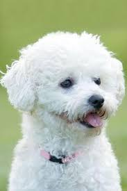 bichon frise cute bichon frise the best and cutest dogs in the world looks like my