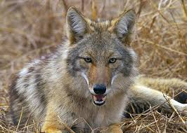 Mississippi wild animals images Coyotes are wily predators and pests mississippi state jpg