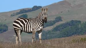 what are some zebra facts for kids reference com