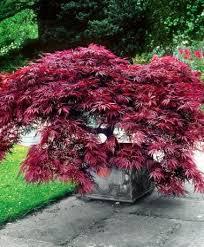 Different Types Of Japanese Gardens - best 25 japanese tree ideas on pinterest japanese bonsai tree