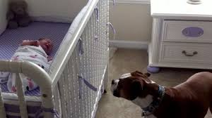 boxer dog health questions boxer dog hears newborn baby cry for the first time in