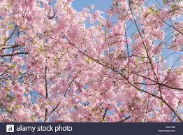 germany bavaria augsburg county cherry flower cherry tree
