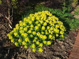 native plants for butterfly gardening benton soil u0026 water alchemilla gold strike google search front garden pinterest