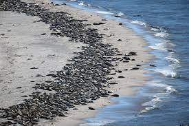 cape cod seals photos show them soaking up sun on the monomoy