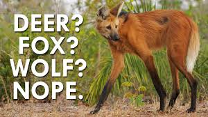 not a deer wolf or fox the maned wolf is fascinating youtube
