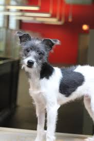 adopt lancaster on italian greyhound dog italian greyhound and
