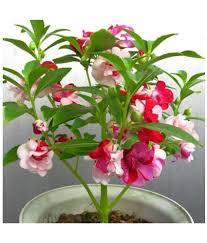Flower Seeds Online - airex balsam flower seeds buy airex balsam flower seeds online at