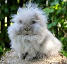 lion heads for sale appearance personality of lionhead rabbit lionheadrabbit