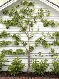 326 best espalier images on espalier fruit trees